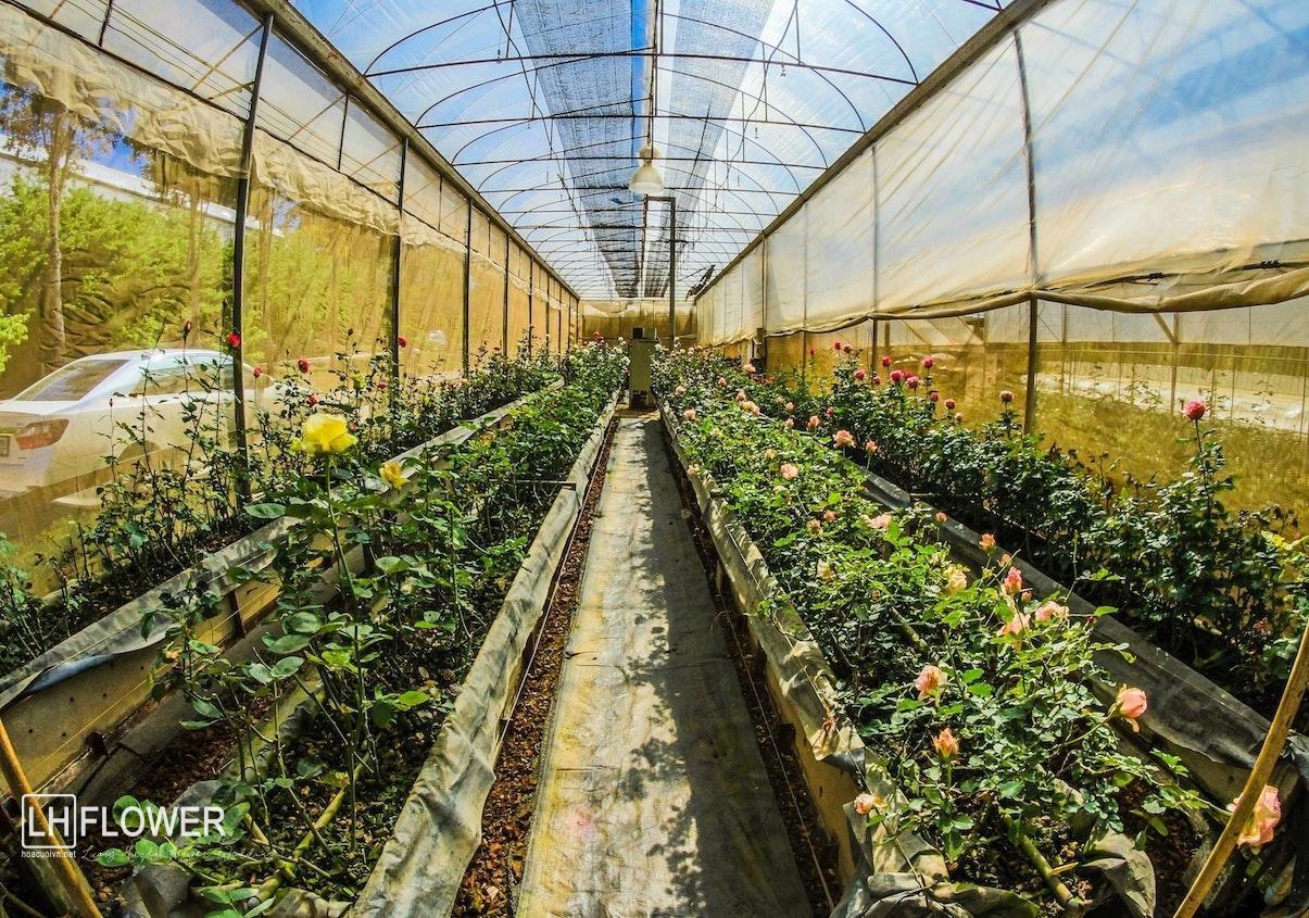 Cách chăm sóc hoa tại nhà phần 2- Hoa 7 Ngày